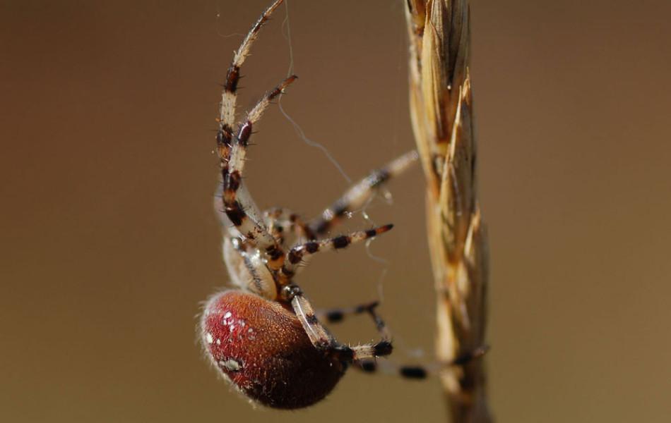 Kreuzspinne (Araneus)