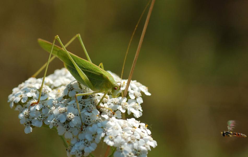 Heupferd (Tettigonia) und Schwebfliege (Syrphidae)