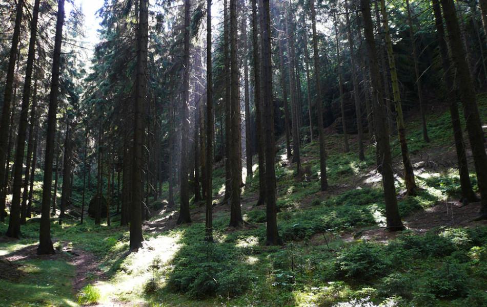 Fichtenforst im Elbsandsteingebirge, Sächsische Schweiz