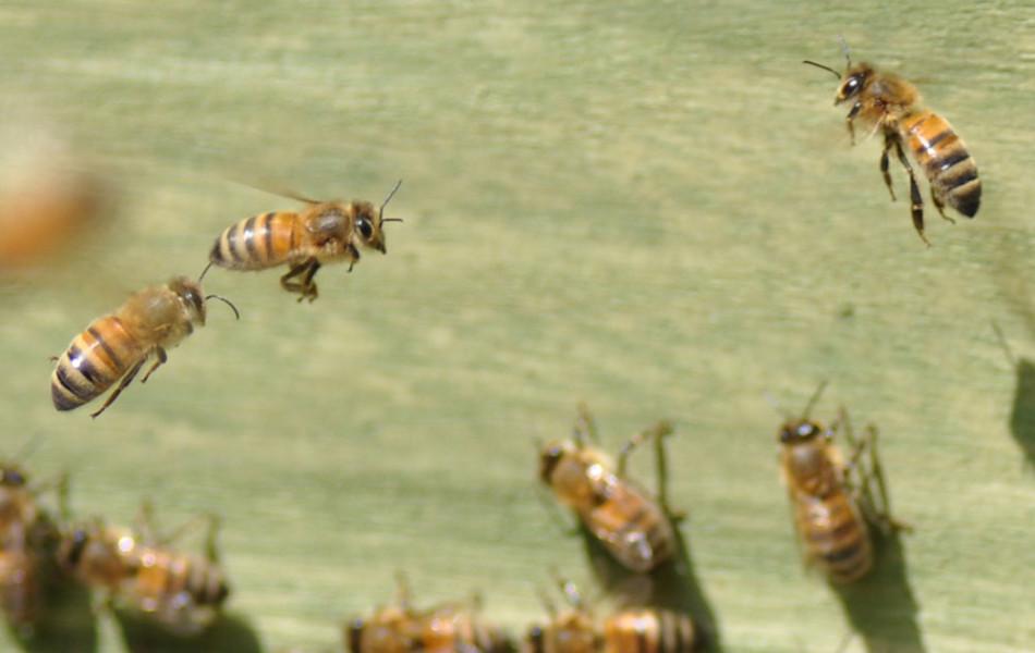 Westliche Honigbiene, Europäische Honigbiene der Rasse Buckfast (Apis mellifera x Buckfast)