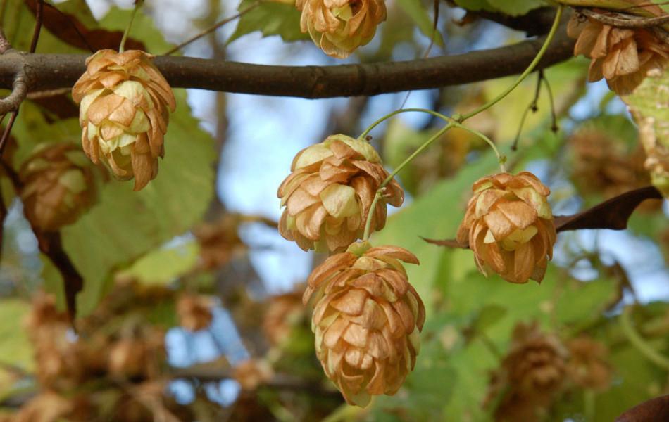 Gewöhnlicher Hopfen (Humulus lupulus)