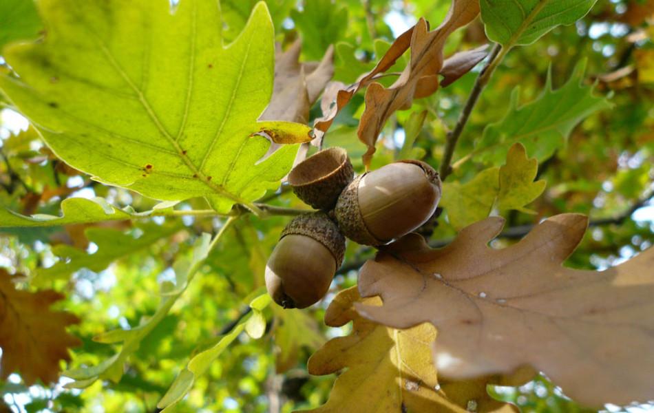 Flaum-Eiche (Quercus pubescens)