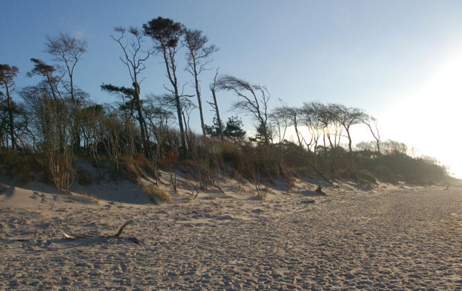 Windflüchter am Weststrand des Darß