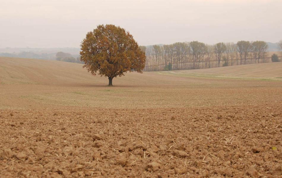 Stiel-Eiche (Quercus robur) in der Ackerflur