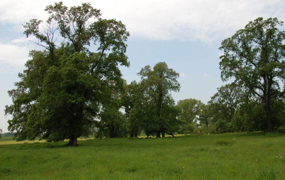 Ulmen (Ulmus laevis) in der Elbaue bei Kamitz