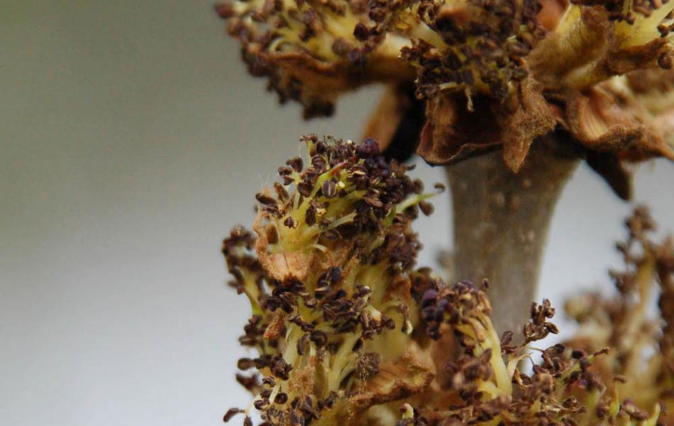 Blüten von Gemeiner Esche (Fraxinus excelsior)
