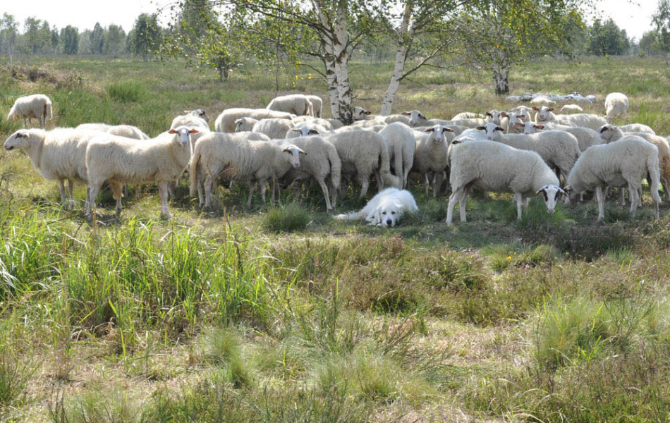 Bentheimer Landschafe mit Pyrenäen-Berghund, Gohrischheide
