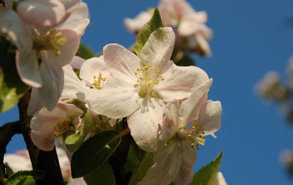 Apfel (Malus)
