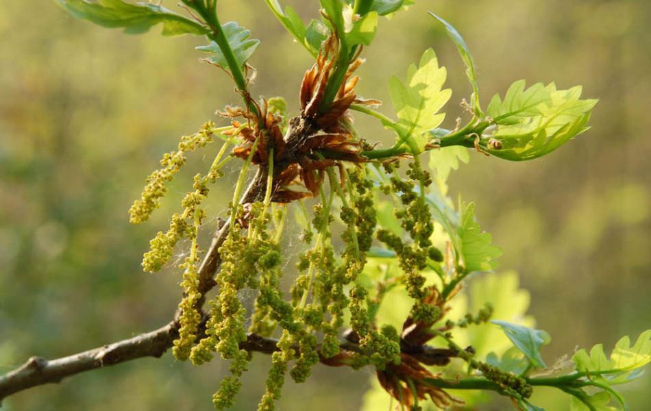 Stiel-Eiche (Quercus robur), männliche Blüte