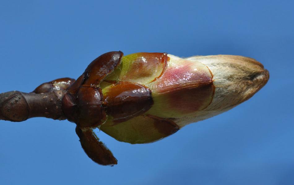 Gewöhnliche Rosskastanie (Aesculus hippocastanum)