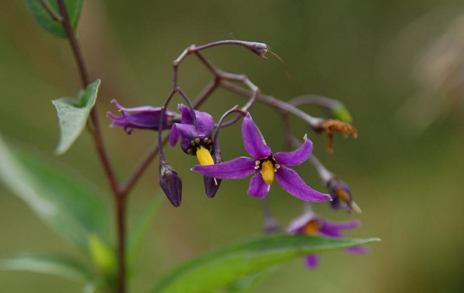 Bittersüßer Nachtschatten (Solanum dulcamara)