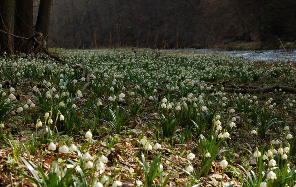 Märzenbecherwiesen (Leucojum vernum) im Polenztal, Sächsische Schweiz