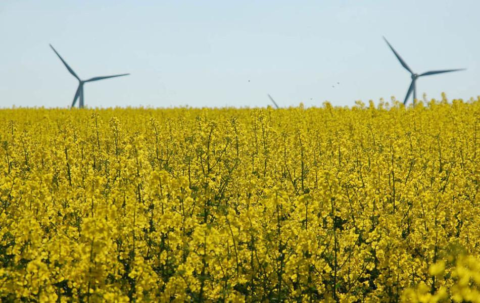 Raps (Brassica napus) und Windmühlen