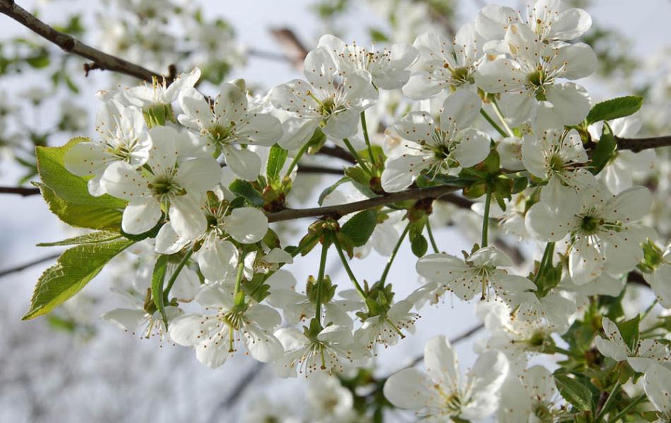 Sauerkirsche (Prunus)