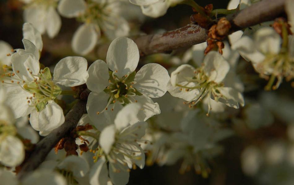 Schlehe, Schwarzdorn (Prunus spinosa)
