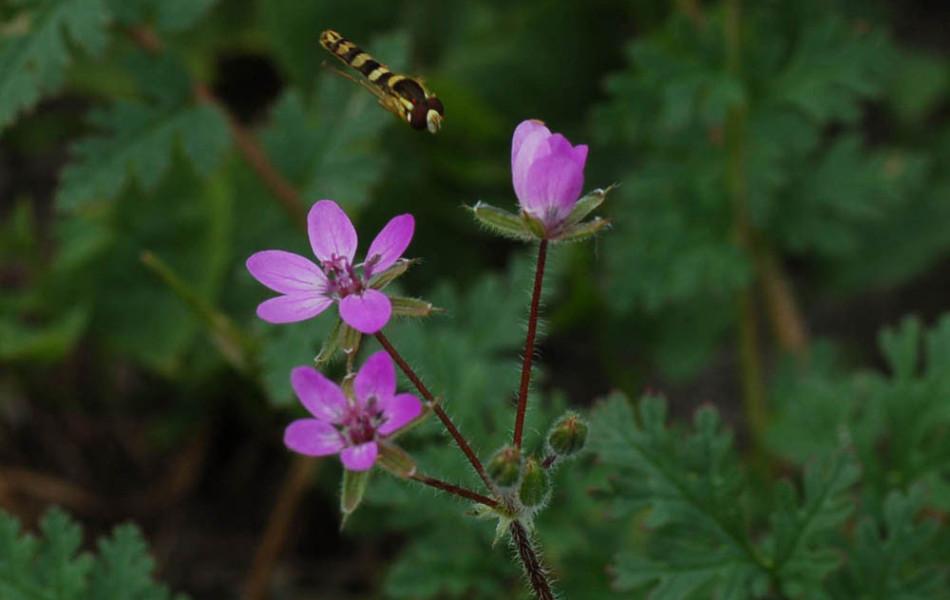 Schwebfliege (Syrphidae) fliegt zu Storchschnabel (Geranium)