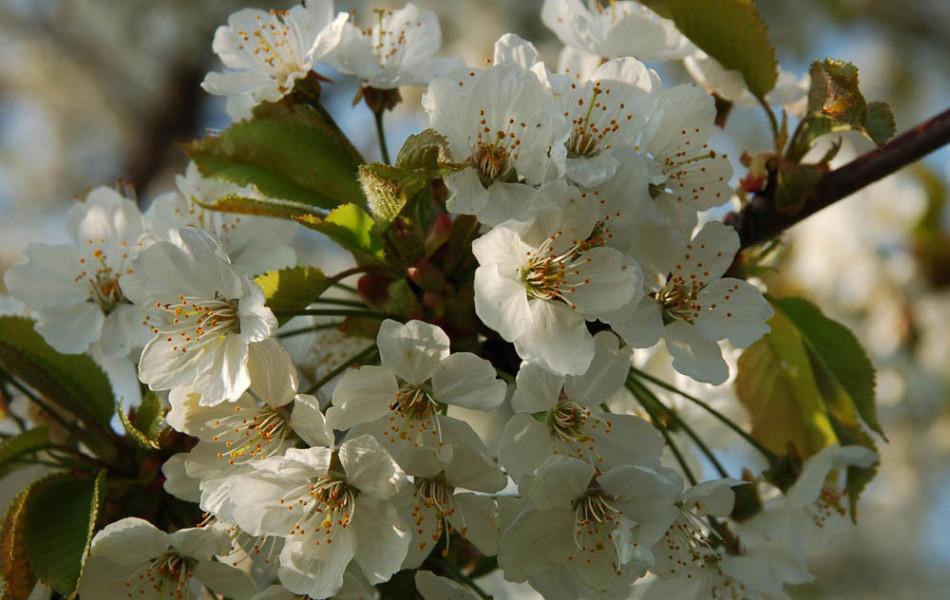 Süßkirsche (Prunus)