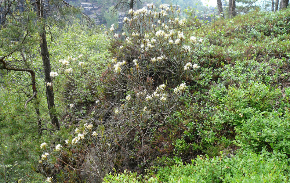 Sumpf-Porst (Ledum palustre)
