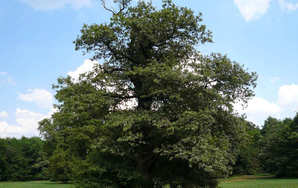 Solitäreichen (Quercus robur) bei Vockerode