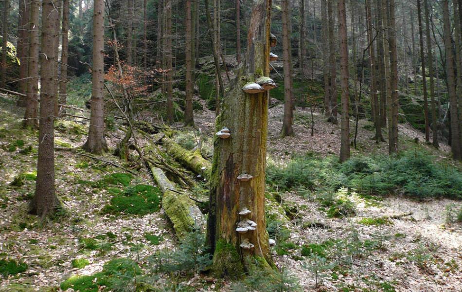 abgestorbene Rot-Buche (Fagus sylvatica) mit Baumpilzen
