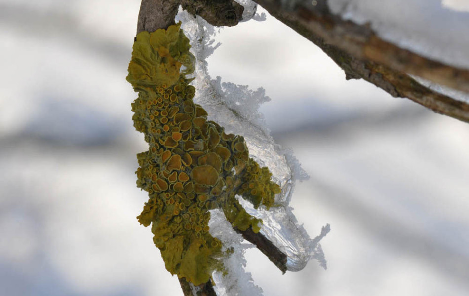 Xanthoria parietina (Gelbflechte)